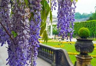 زهور بنفسجية متدلية فى حدائق قصر ميرابيل