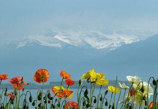 ازهار التيوليب على شاطىء بحيرة ليمان فى جنيف